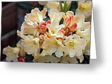 Rhododendron Nancy Evans Greeting Card