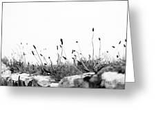 Ribwort Plantain Greeting Card