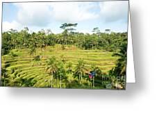 Rice Paddy Field Plantation Greeting Card