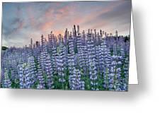 Ridge Of Lupine At Dawn Greeting Card