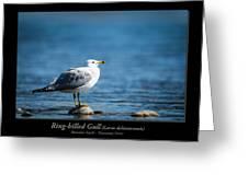 Ring-billed Gull Greeting Card