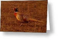 Ring Neck Pheasant  Greeting Card