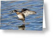 Ring-necked Duck Landing Greeting Card