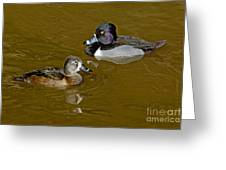 Ring-necked Duck Pair Greeting Card