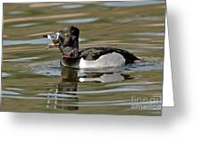 Ring-necked Duck Swallowing Snail Greeting Card