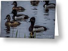 Ring-necked Ducks 6 Greeting Card