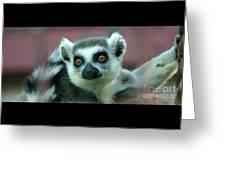 Ring Tailed Lemur-2 Greeting Card