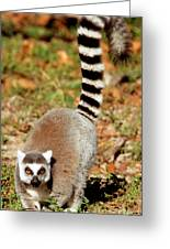 Ring-tailed Lemur Lemur Catta Walking Greeting Card