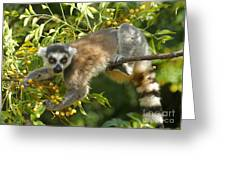 ring-tailed lemur Madagascar 1 Greeting Card