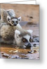 Ring-tailed Lemur Mother Drinking Greeting Card