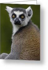 Ring-tailed Lemur Portrait Madagascar Greeting Card