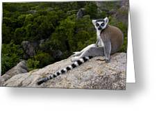 Ring-tailed Lemur Resting Madagascar Greeting Card