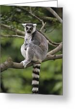 Ring-tailed Lemur Sitting Madagascar Greeting Card