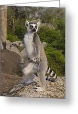 Ring-tailed Lemur Standing Madagascar Greeting Card