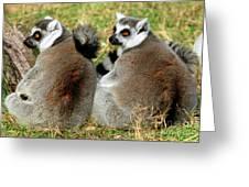 Ring-tailed Lemurs Lemur Catta Greeting Card