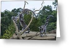 Ring Tailed Lemurs Playing Greeting Card