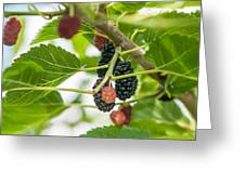 Ripe Mulberry On The Branches Greeting Card