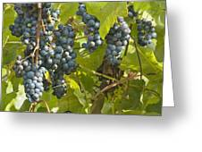 Ripe Purple Grapes On Vine  Greeting Card