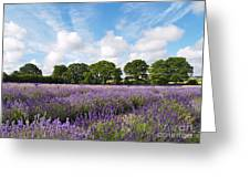 Ripening English Lavender In Hampshire Greeting Card