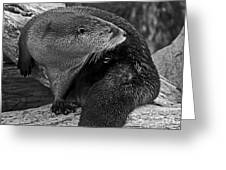 River Otter In Black And White Greeting Card