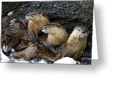 River Otter Trio   #0922 Greeting Card