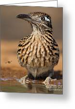 Greater Roadrunner No 1 Greeting Card