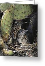 Roadrunners In Nest Greeting Card