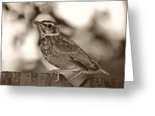 Robin Bird Black And White Greeting Card