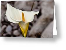 Rock Calla Lily Greeting Card