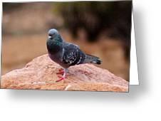 Rock Pigeon 030515 A Greeting Card