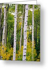 Rocky Mountain Aspen Forest Greeting Card