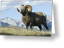 Rocky Mountain Big Horn Sheep Greeting Card by Bob Christopher