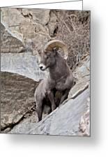 Rocky Mountain Big Horn Sheep Ram Greeting Card