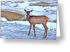 Rocky Mountain Elk Calf Greeting Card