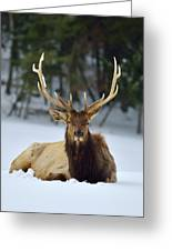 Rocky Mountain Elk Greeting Card