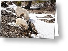 Rocky Mountain Goats - Mother And Baby Greeting Card