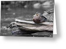 Rogue River Duck Greeting Card