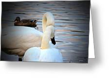Romance Of The White Swans Greeting Card