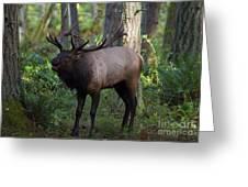 Roosevelt Elk Bugling Greeting Card