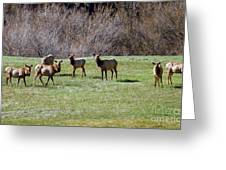 Roosevelt Elk Greeting Card