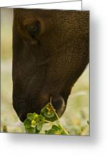Roosevelt Elk Solemnly Feeding On The Beach Greeting Card by Phil Johnston