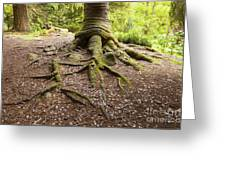 Roots Of Monkey Puzzle Tree Greeting Card by Colin and Linda McKie