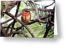 Rose-breasted Grosbeak On Pine Tree Greeting Card