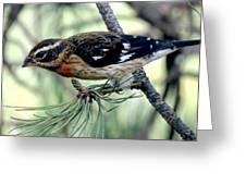 Rose-breasted Grosbeak - Profile Greeting Card