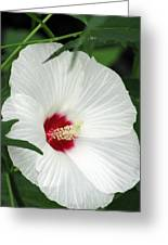 Rose Mallow - Honeymoon White With Eye 05 Greeting Card
