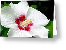 Rose Of Sharon # 1 Greeting Card