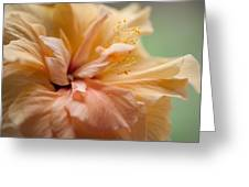 Rose Of Sharon. Hibiscus Greeting Card