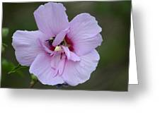 Rose Of Sharon With Bee Greeting Card