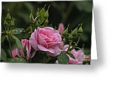 Rose Pictures 328 Greeting Card