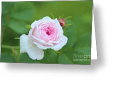 Rose Greeting Card by Sylvia  Niklasson